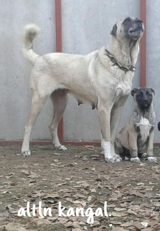 HUNTER DİŞİ KANGAL